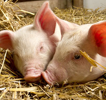 pigs on the animal farm_Square